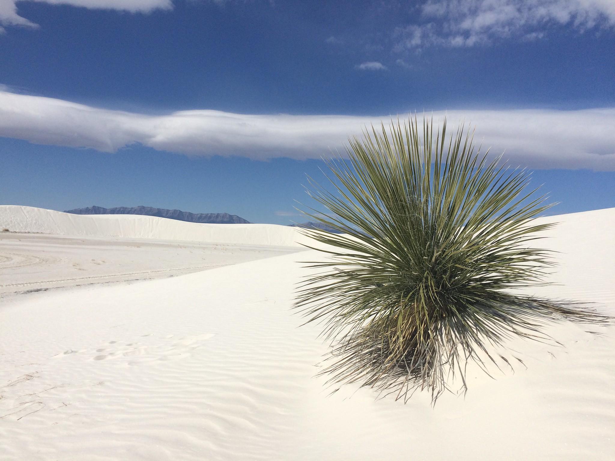La Yucca elata crece en los desiertos