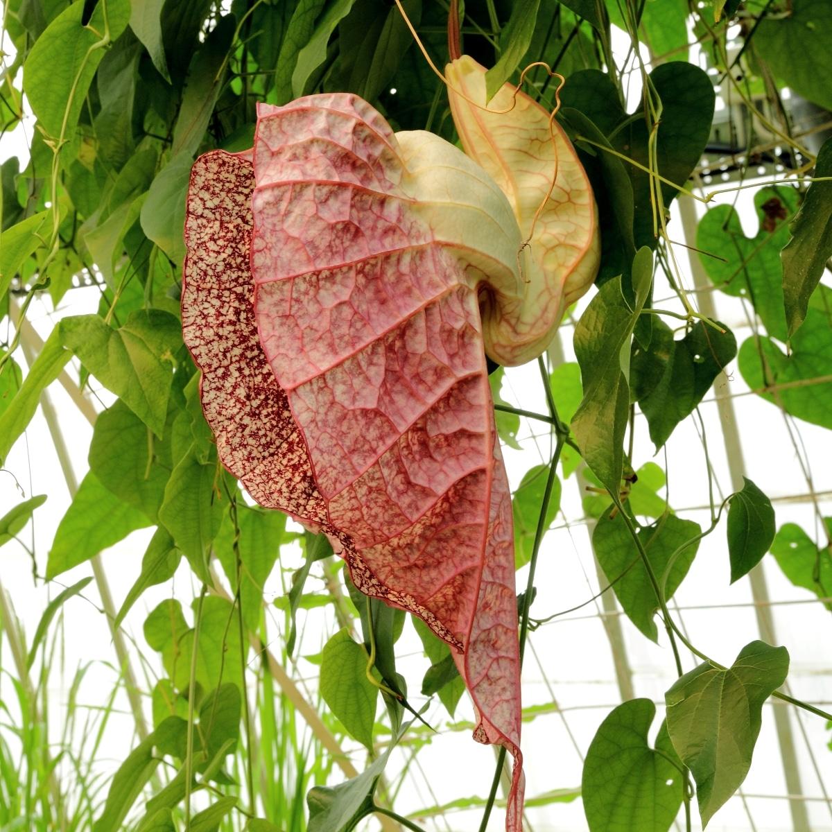 Perfil de la flor de Aristolochia grandiflora