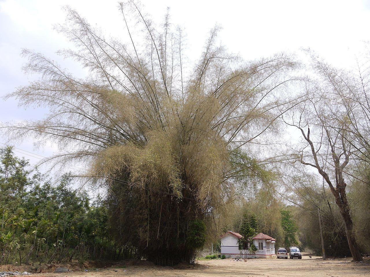 Bambusa floreciendo, tras lo cual morirá