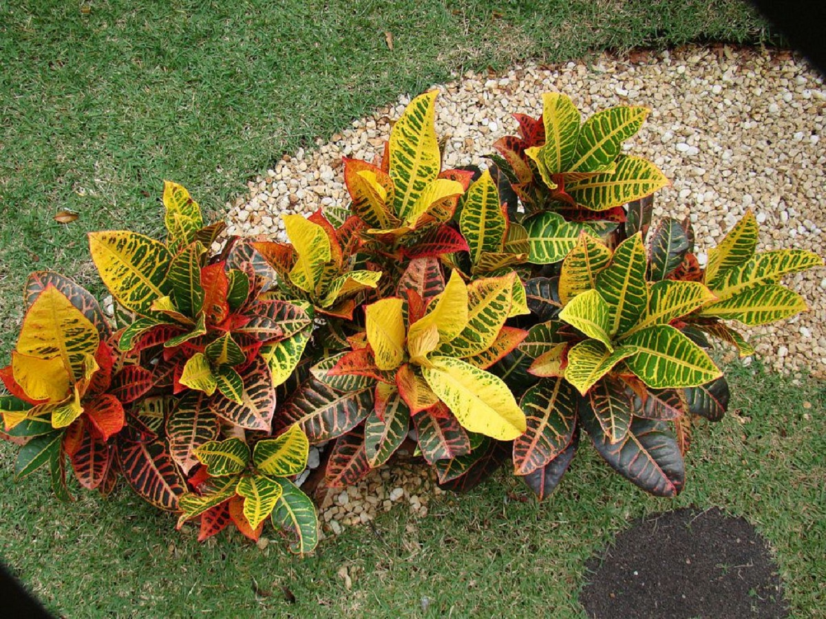 Codaieum variegatum