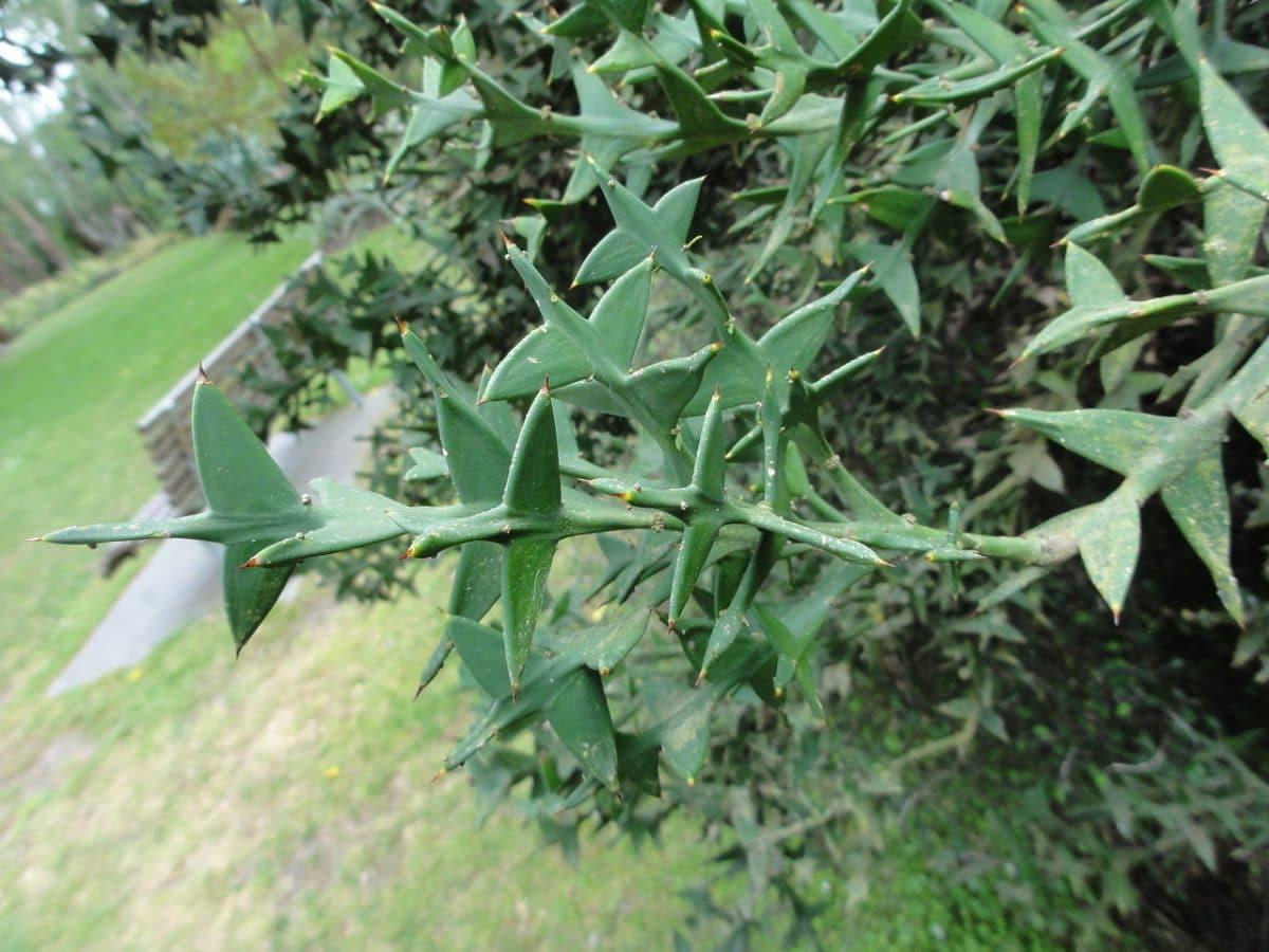 Colletia paradoxa, una planta xerófila sin hojas con los tallos aplanados.