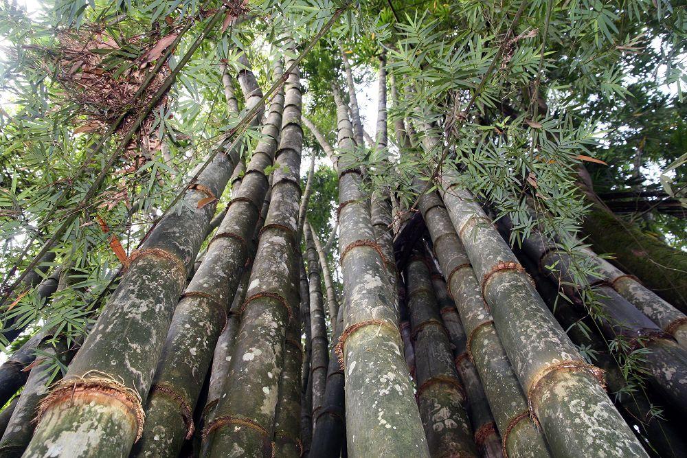 Dendrocalamus giganteus, el bambú más grande del mundo