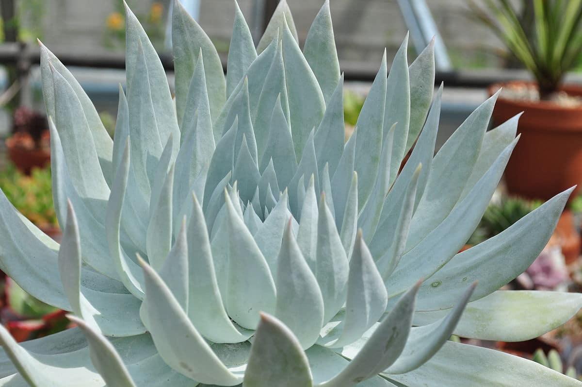 La Dudleya brittonii es una crasa de lento crecimiento