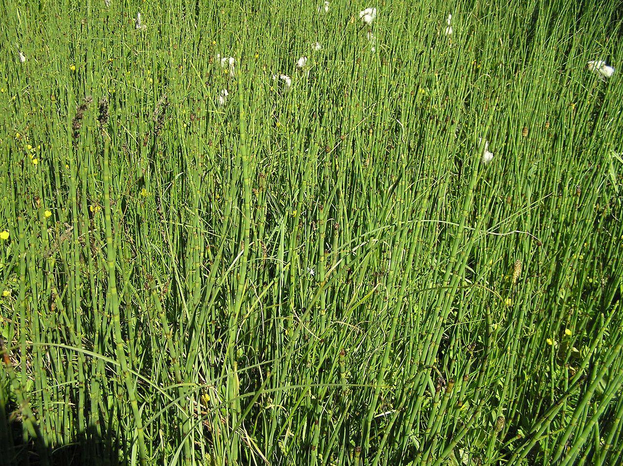 El Equisetum fluviatile crece en los ríos