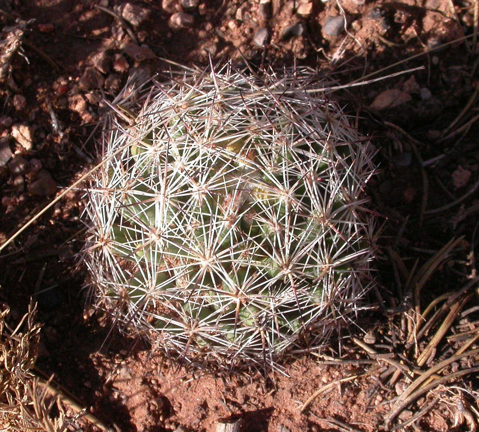 Escobaria vivipara, un cactus extremadamente resistente al frío