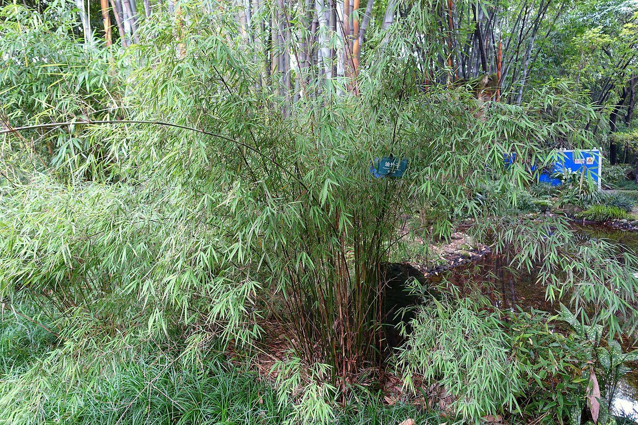 Fargesia un bambú nada invasivo
