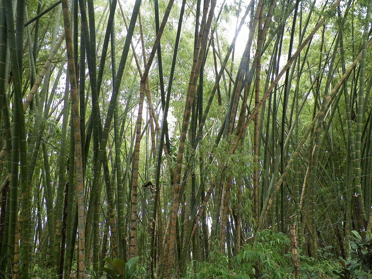 Guadua angustifolia, uno de los pocos bambúes invasivos con rizoma paquimorfo.
