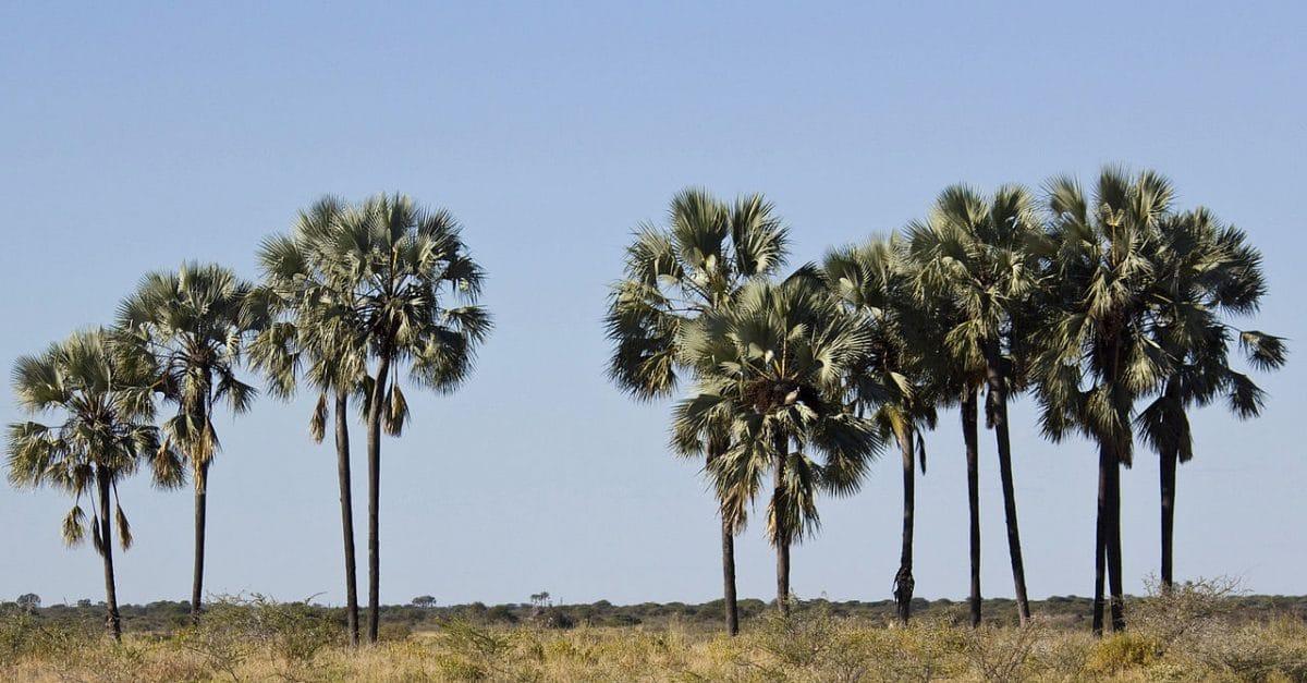 Hyphaene una planta xerófila africana
