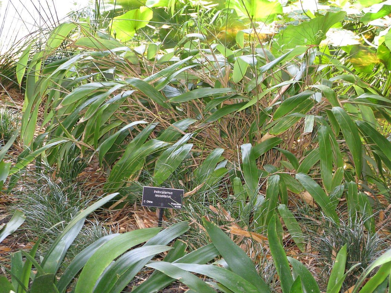 Indocalamus tessellatus, el bambú no tropical de hojas más grandes.