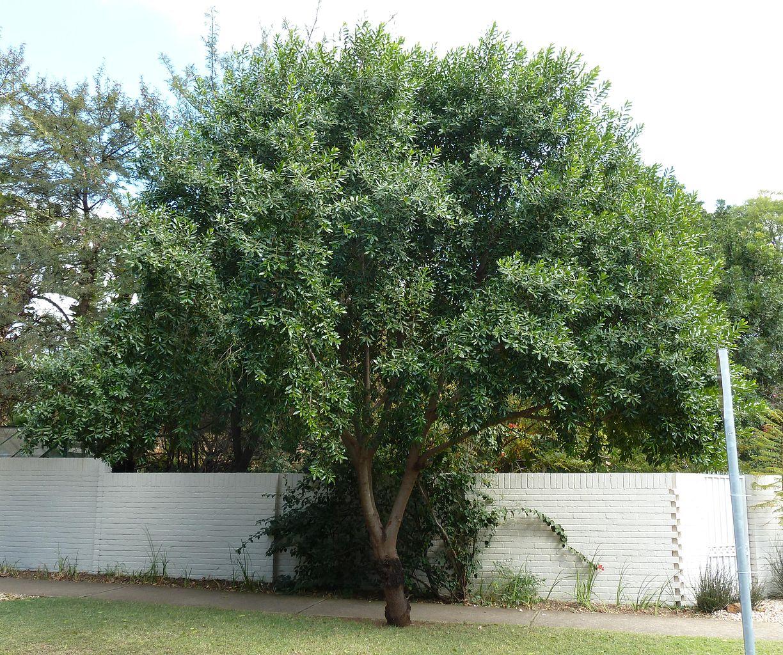 ejemplar joven de Olea capensis