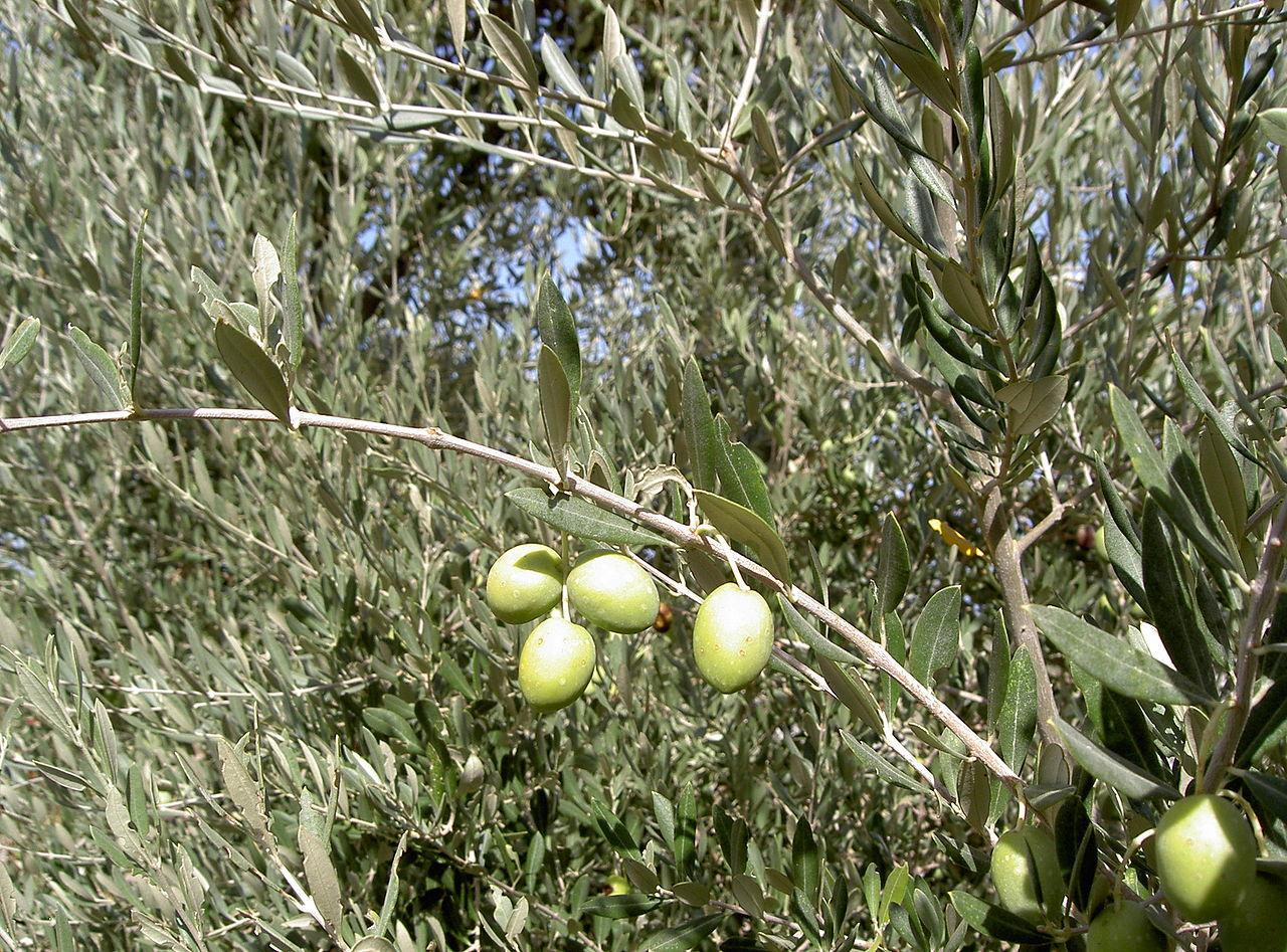 Detalle hojas y fruto de Olea europaea