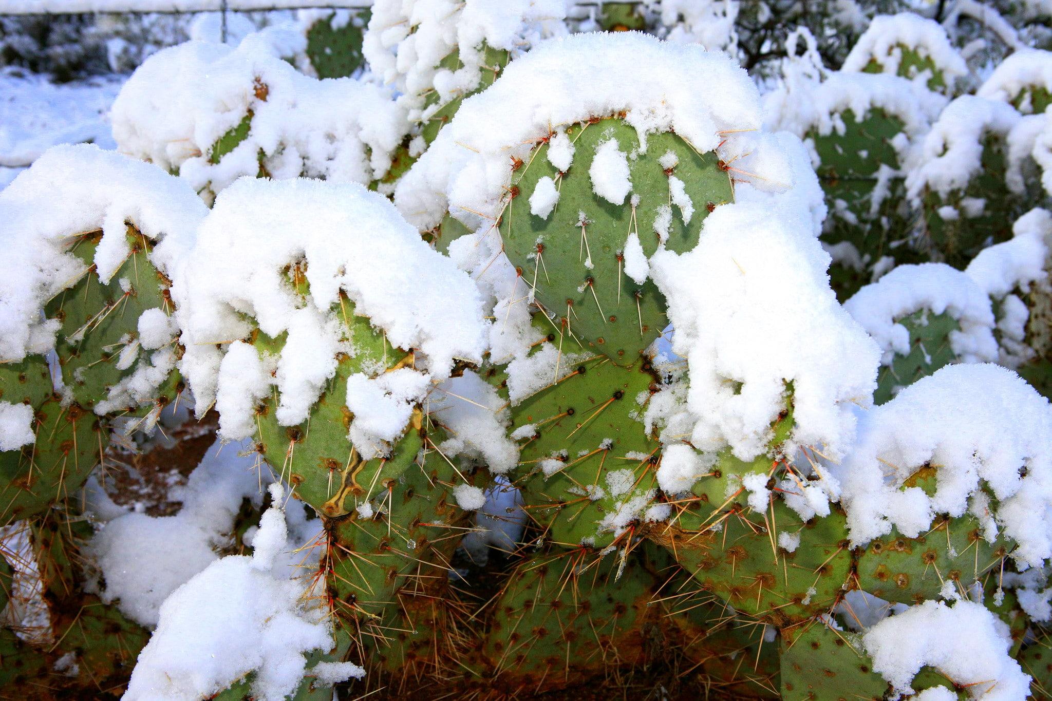 Opuntia cubierta de nieve. Existen muchos cactus resistentes al frío.