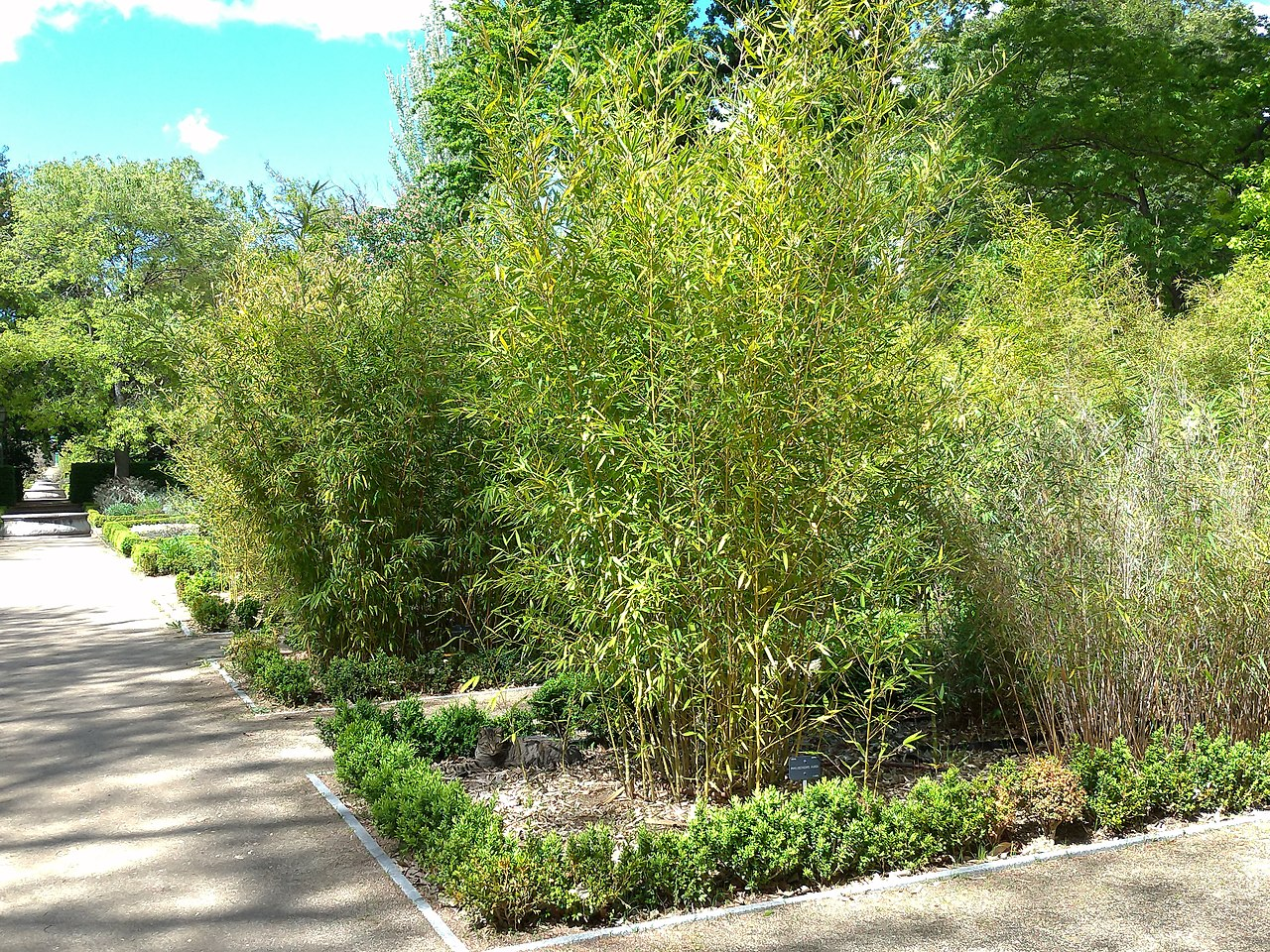 Varios bambúes resistentes al frío y al calor