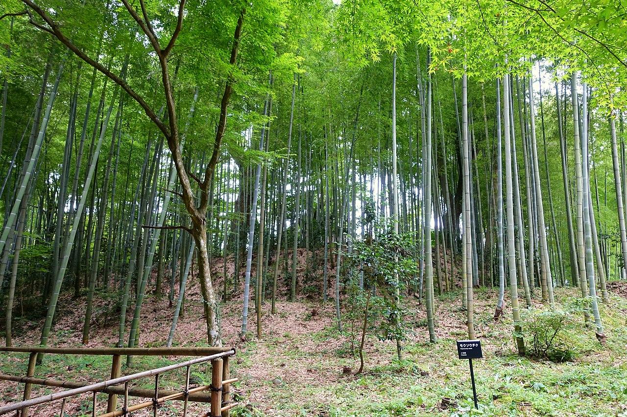 Bosque de Phyllostachys edulis