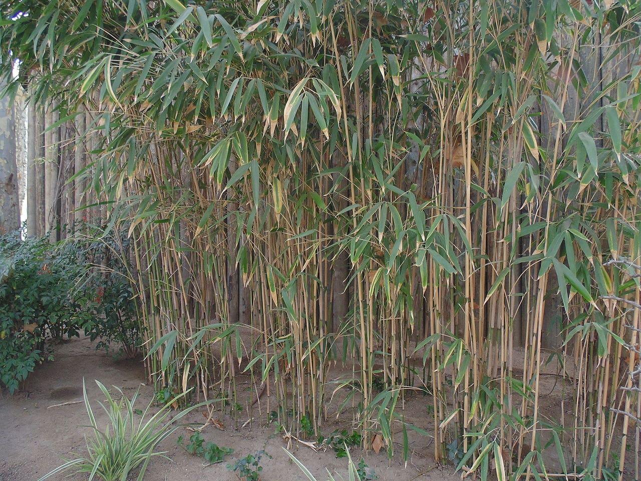 Pseudosasa japonica, un bambú invasivo de hojas grandes