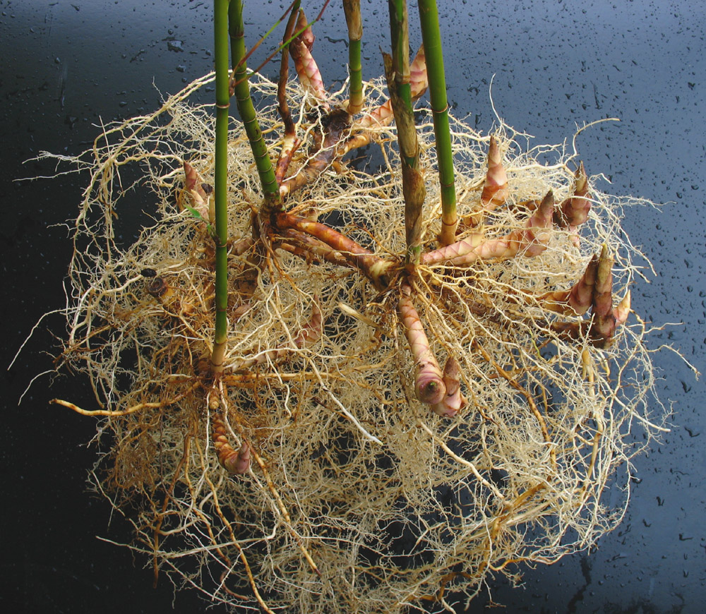 Rizoma paquimorfo de Fargesia robusta