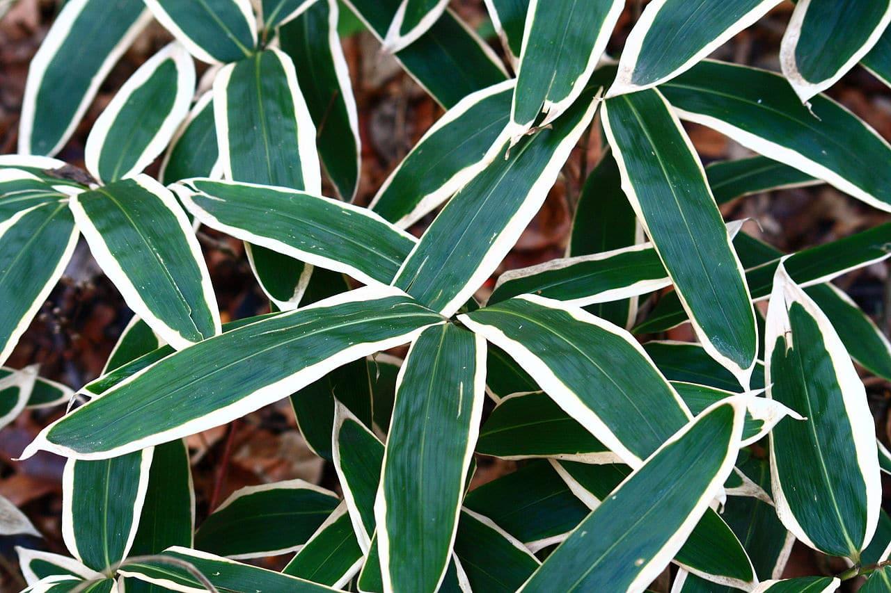 Sasa veitchii, un bambú enano muy llamativo