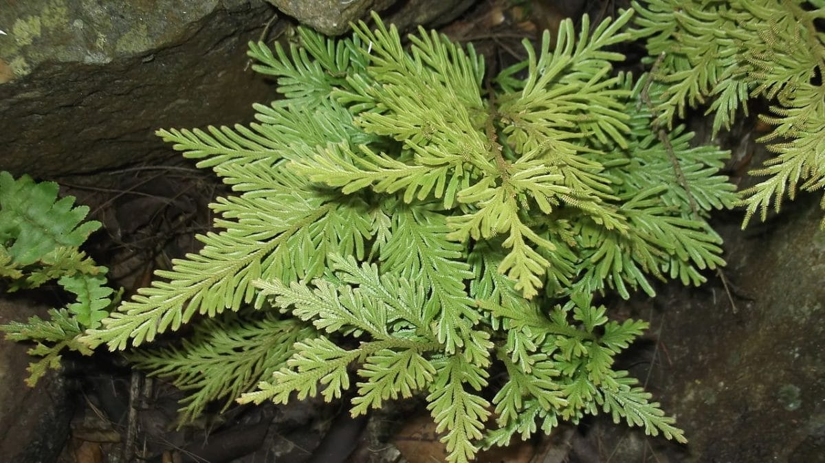 Selaginella xerófila