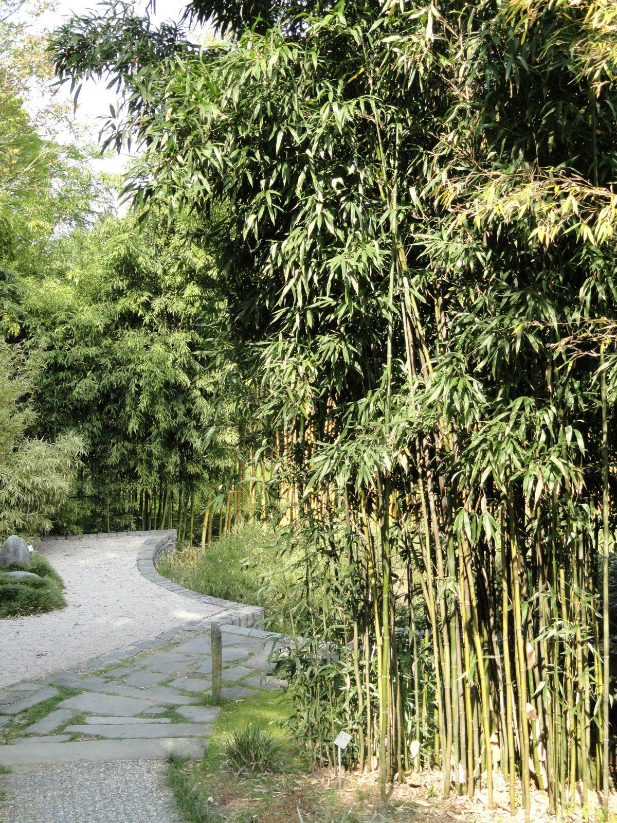 Semiarundinaria fastuosa, un bambú invasivo muy utilizado como cortavientos
