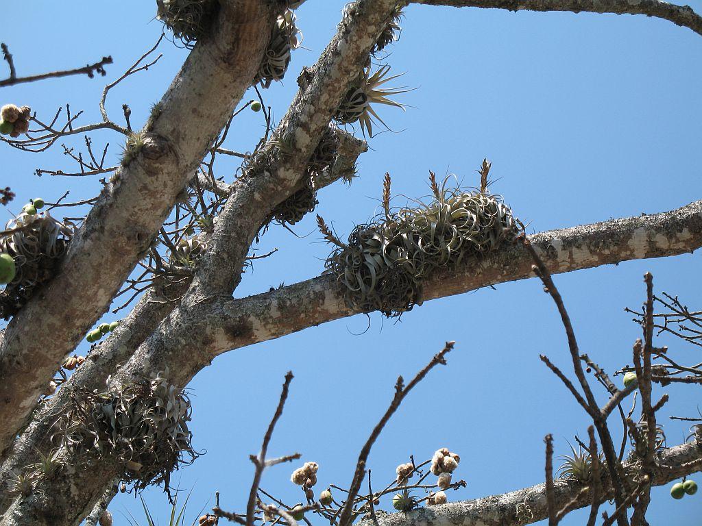 Tillandsia creciendo sobre árbol