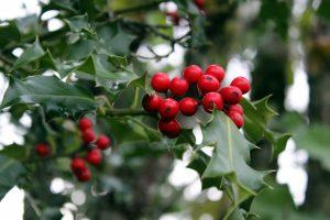 El género Ilex está compuesto por árboles y arbustos