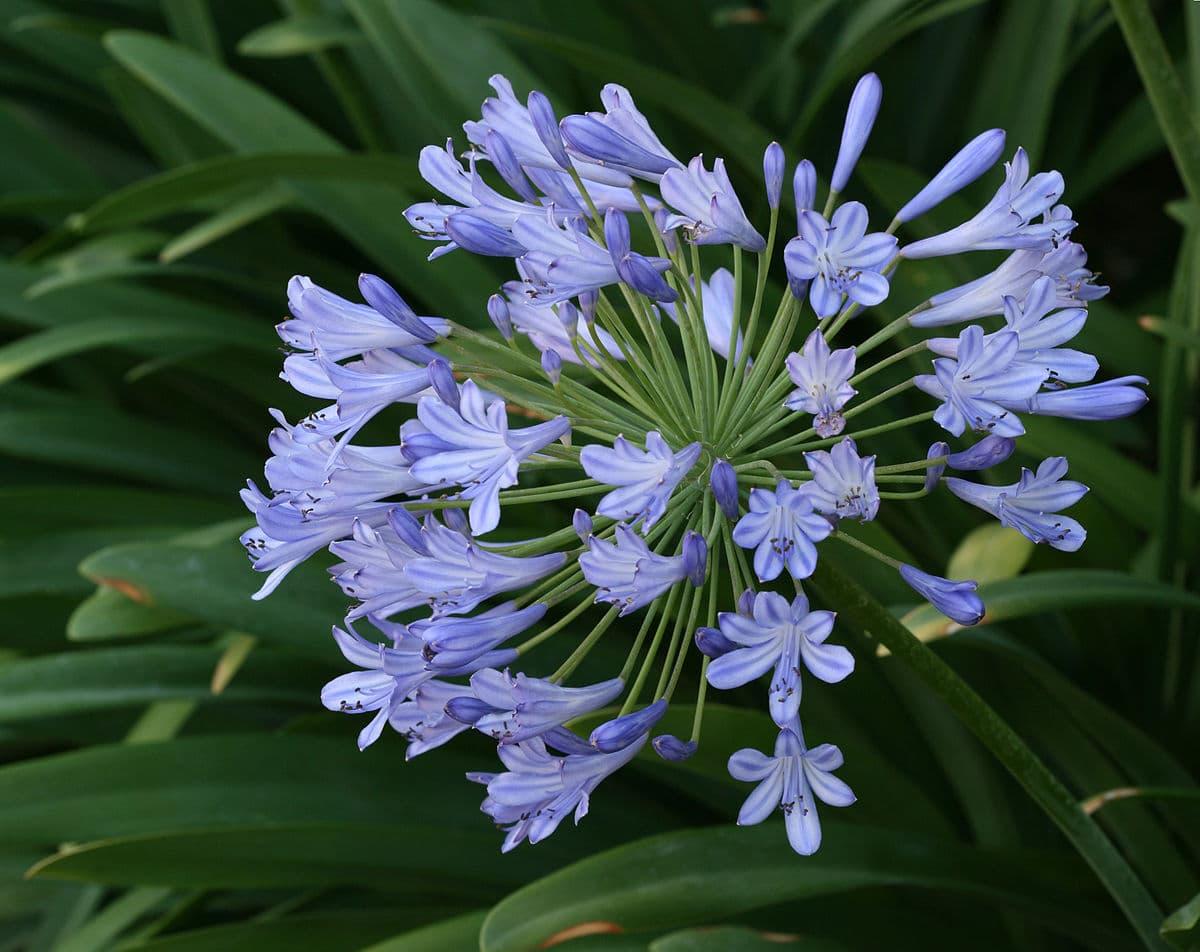 El Agapanthus praecox es una planta de flores azuladas