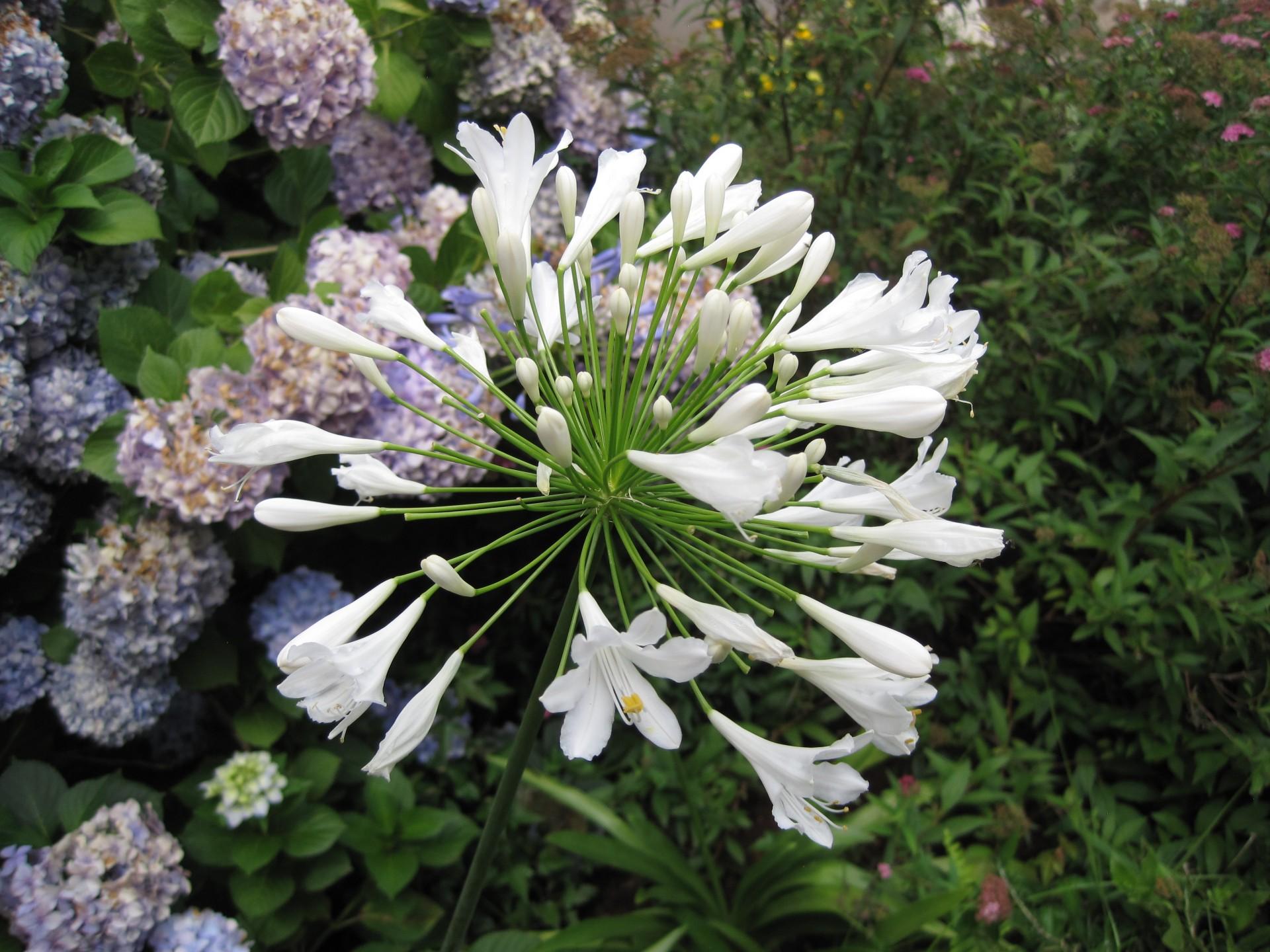 Los agapantos pueden tener flores azules o blancas