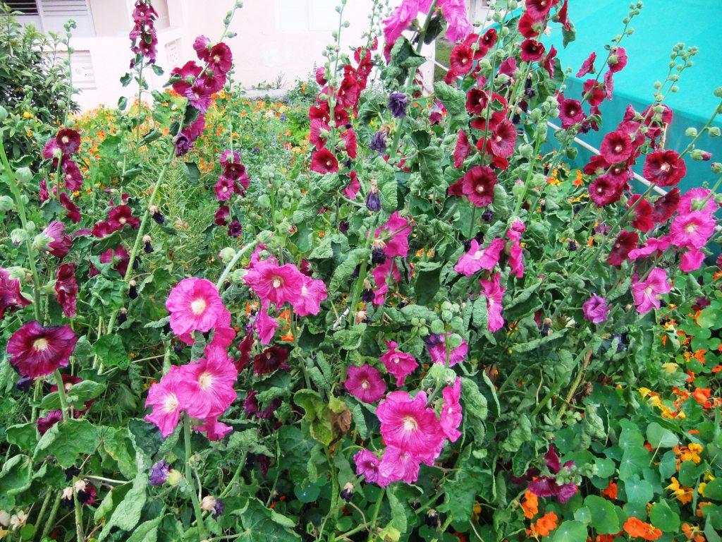 La Alcea setosa tiene flores rosadas