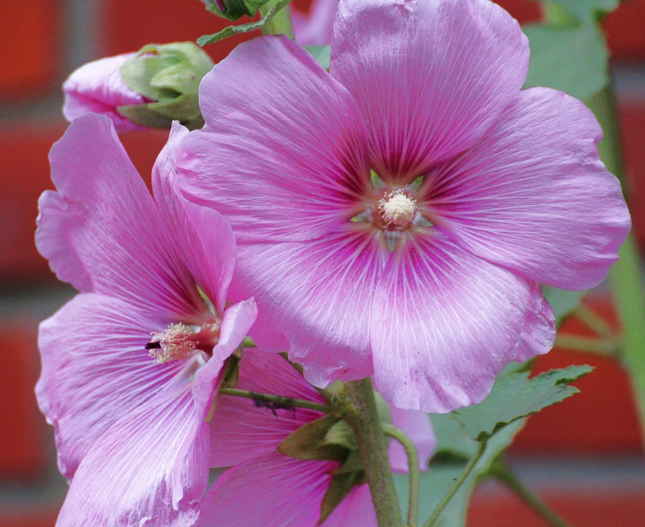 Las alcea son plantas herbáceas