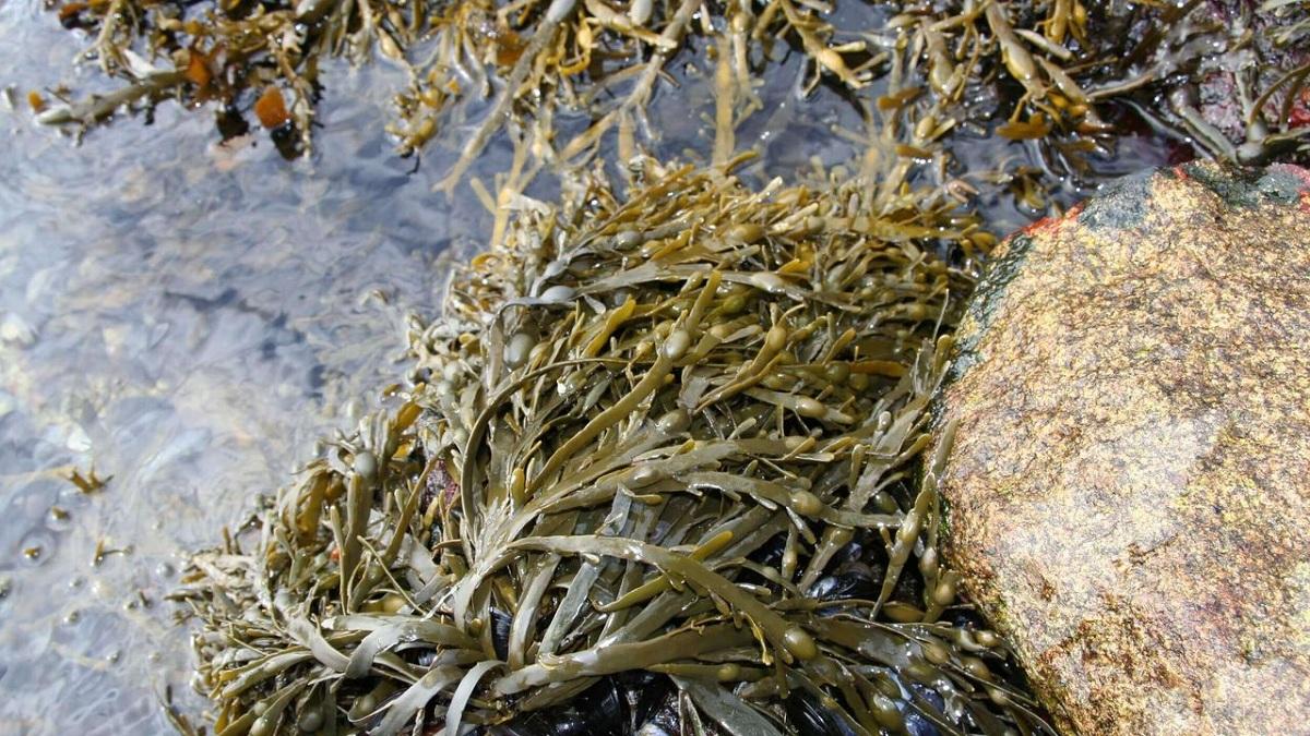 alga de roca