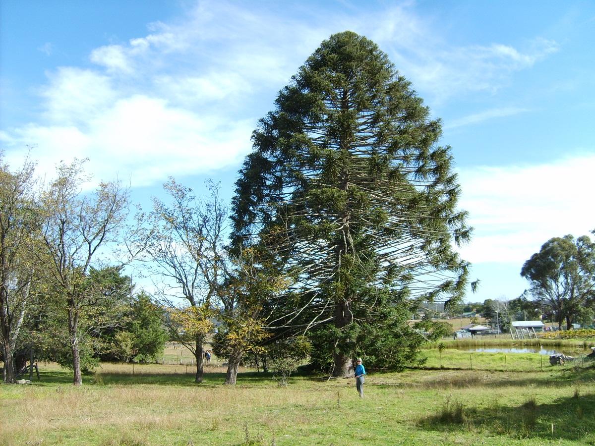 arbol enorme llamado Araucaria bidwillii y una senora al lado