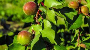 Hay muchos tipos de plantas frutales