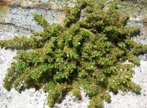 arbusto llamado pilea que se ve seco