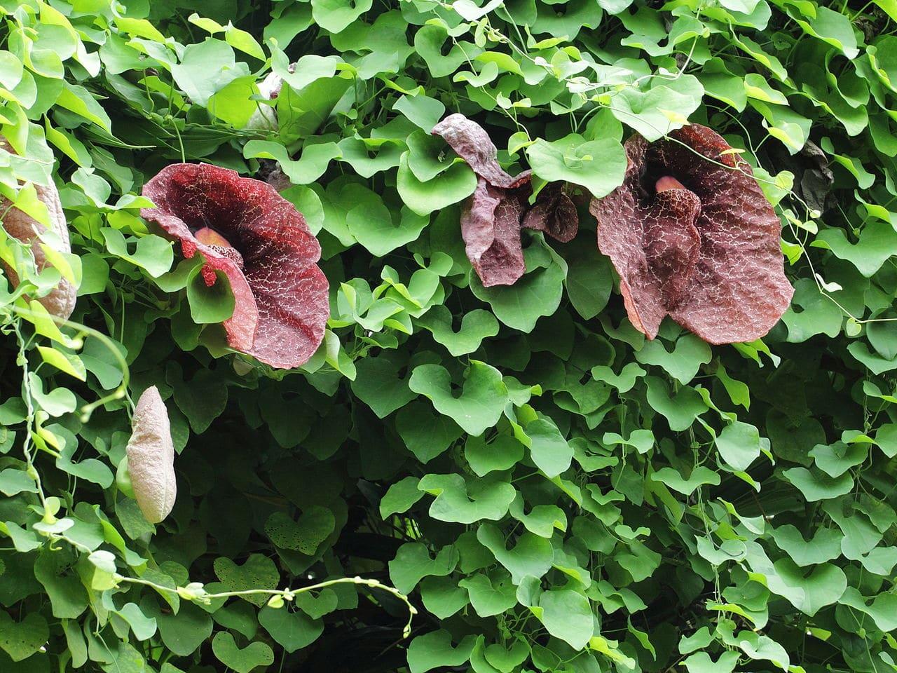 La Aristolochia es un género de plantas trepadoras