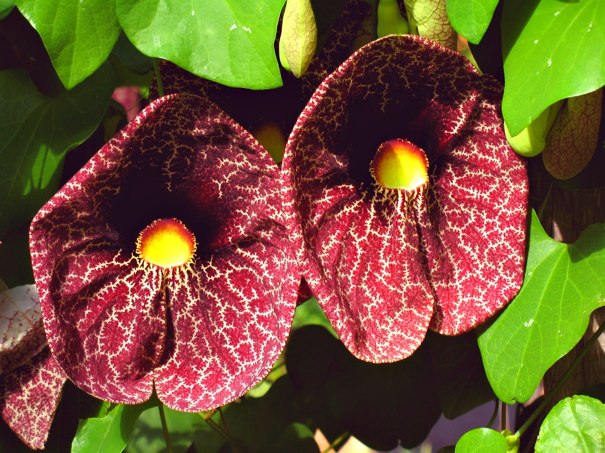 Las flores de la Aristolochia suelen ser rojizas
