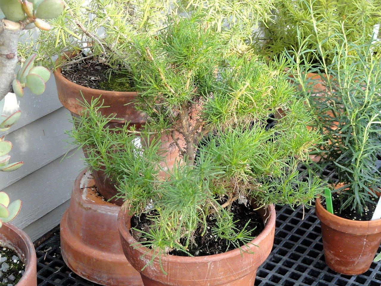 La bonetera se puede cultivar en macetas