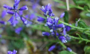 bonitas flores sin abrir de la Polygala vulgaris