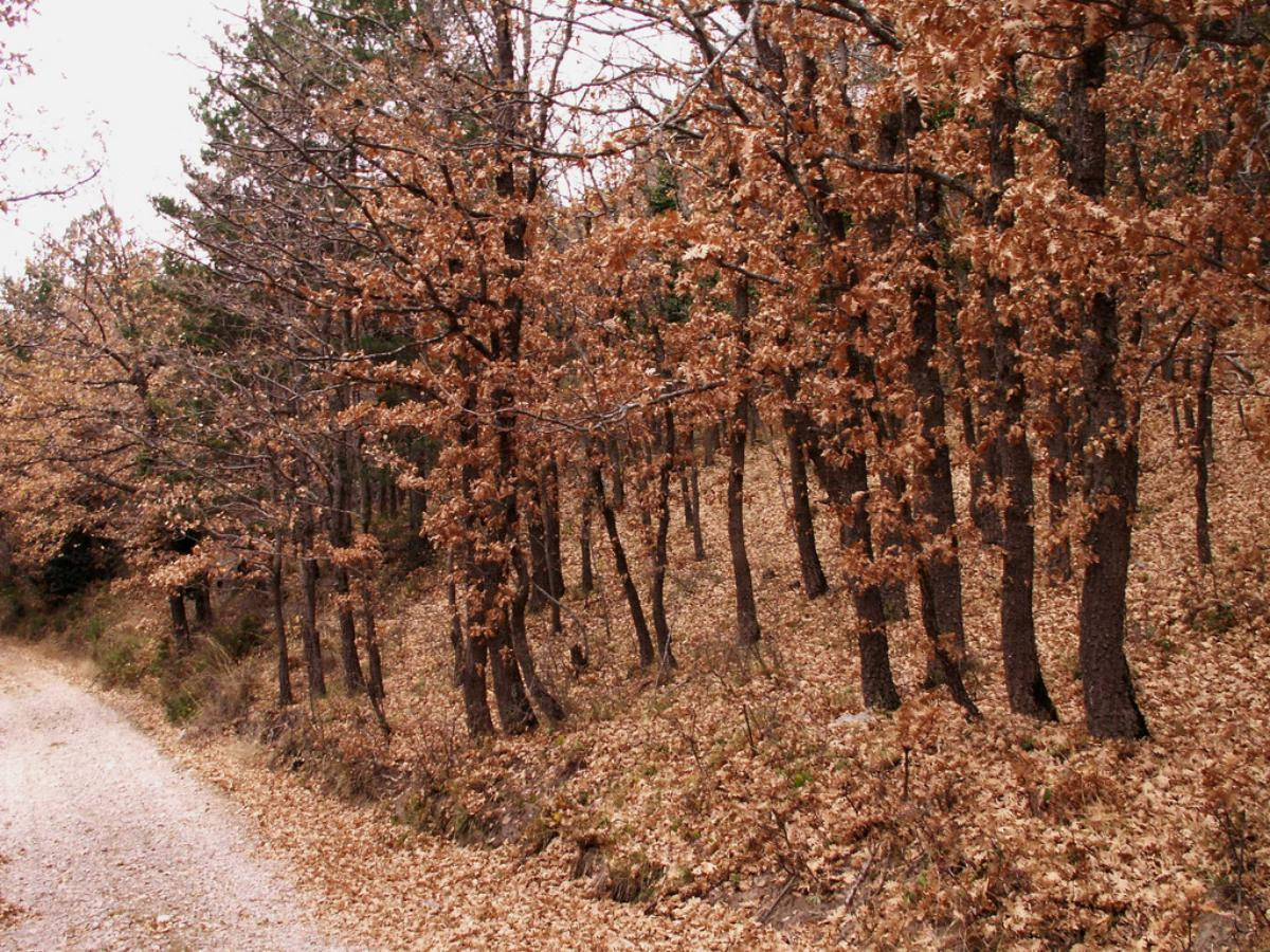 El bosque marcescente es un tipo de ecosistema muy curioso