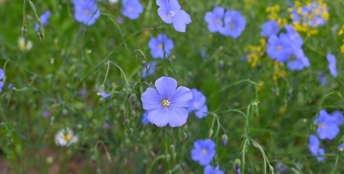 campo lleno de flores del Linum usitatissimum