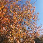 El carpe mantiene sus hojas en invierno