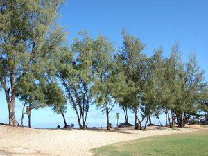 La Casuarina equisetifolia es un árbol que puede crecer en suelo arenoso