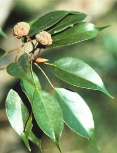 Vista de las hojas del Liquidambar gracilipes