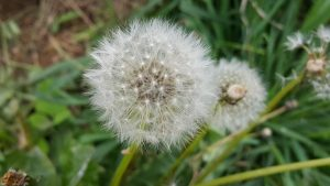 Las semillas de diente de león se dispersan con el viento