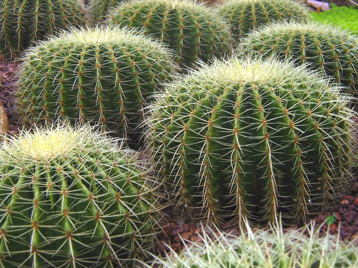 Hay muchos tipos de cactus redondos, y el Echinocactus grusonii es uno