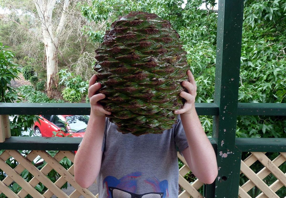 enorme piña que sale del arbol Araucaria bidwillii