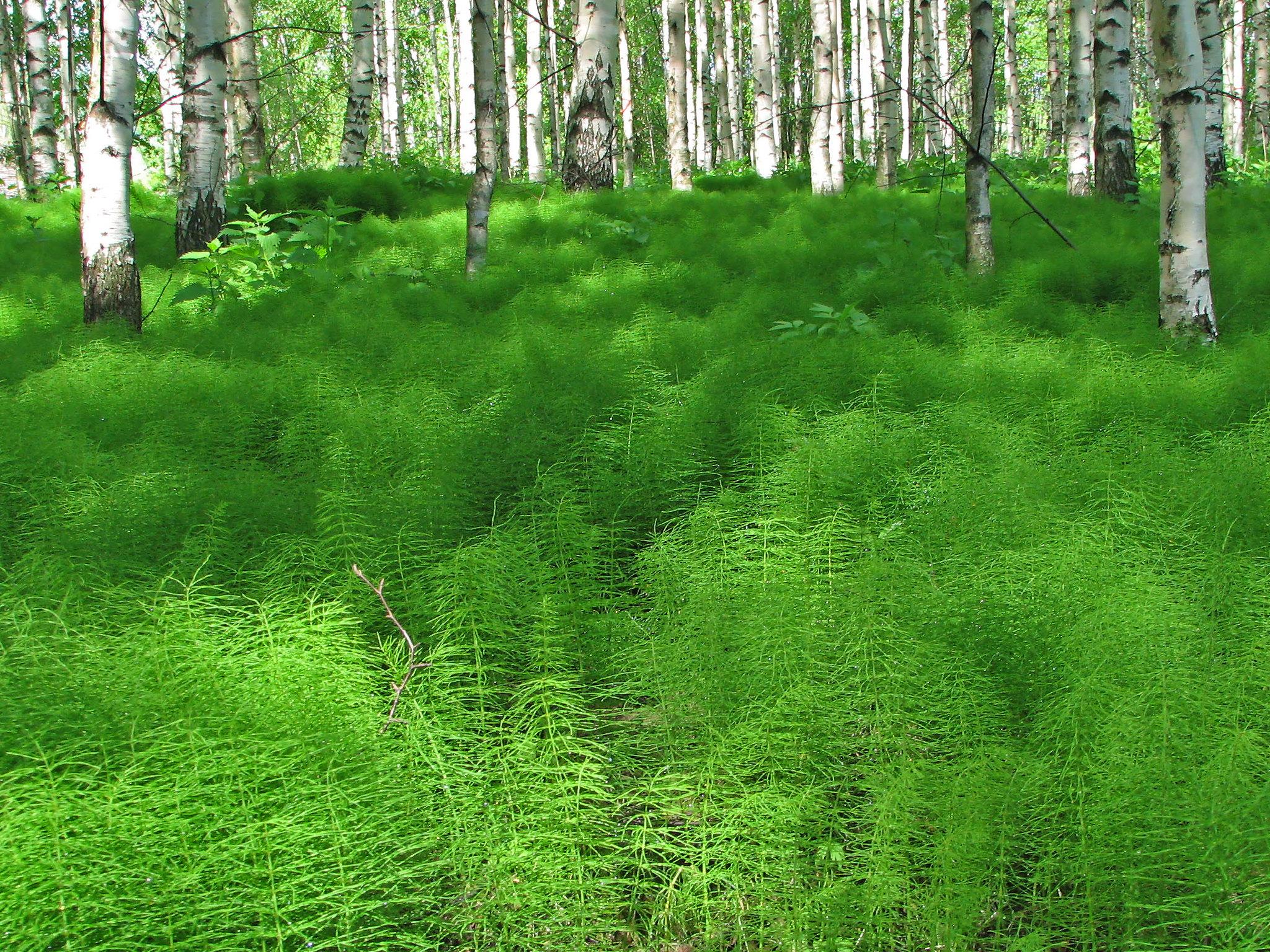 Vista del Equisetum sylvaticum en hábitat