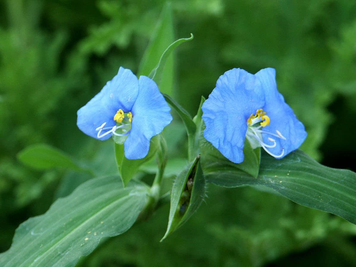 flor de la commelina erecta