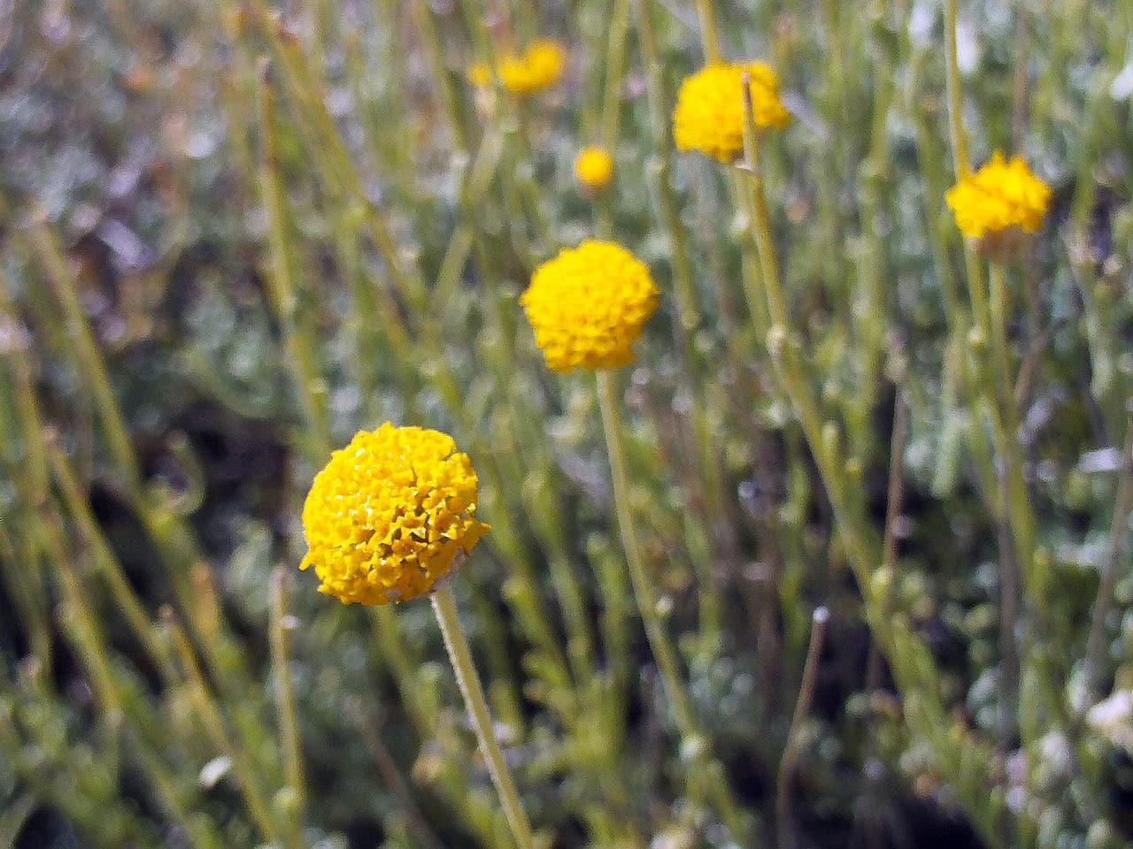 Las flores de la Santolina rosmarinifolia son amarillas