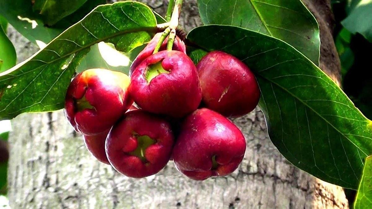 fruto de la manzana de agua