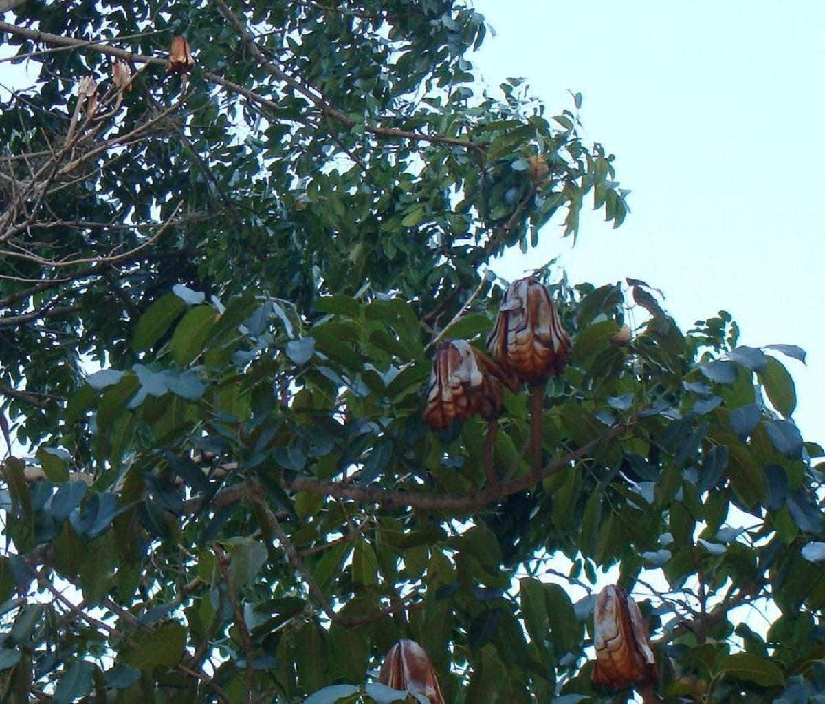 fruto del baoba